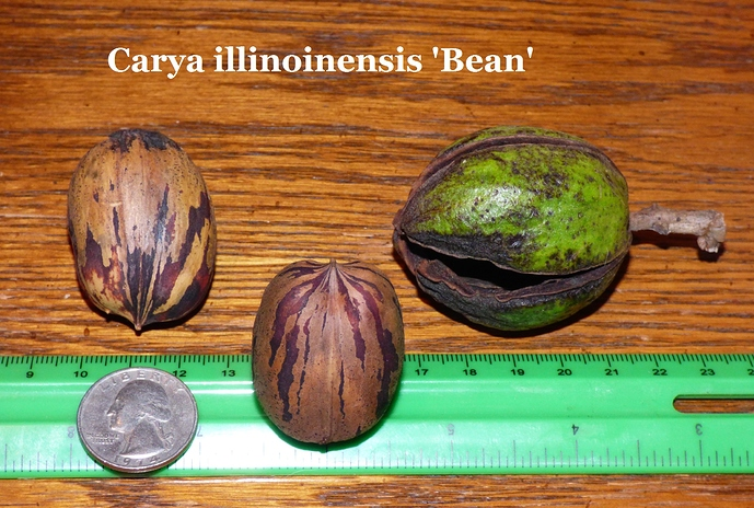 Carya%20illinoinensis%20'Bean'%20Fred%20Blankenship%20Cecilia%2C%20KY%20008