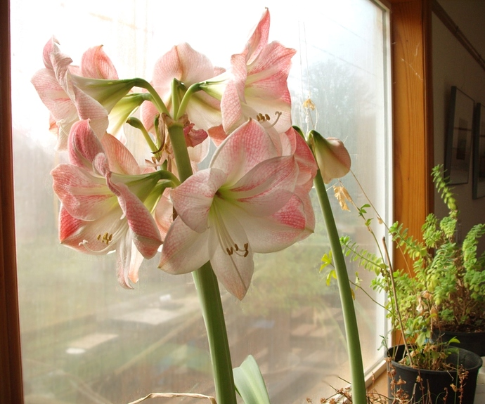 Amaryllis%207023%20as%20