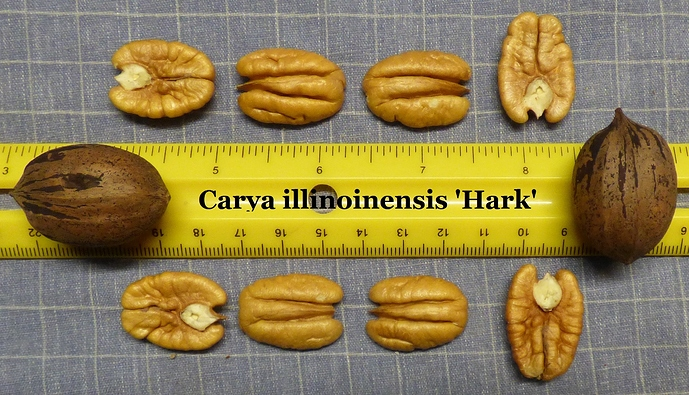 002%20Shelled%20Carya%20illinoinensis%20'Hark'