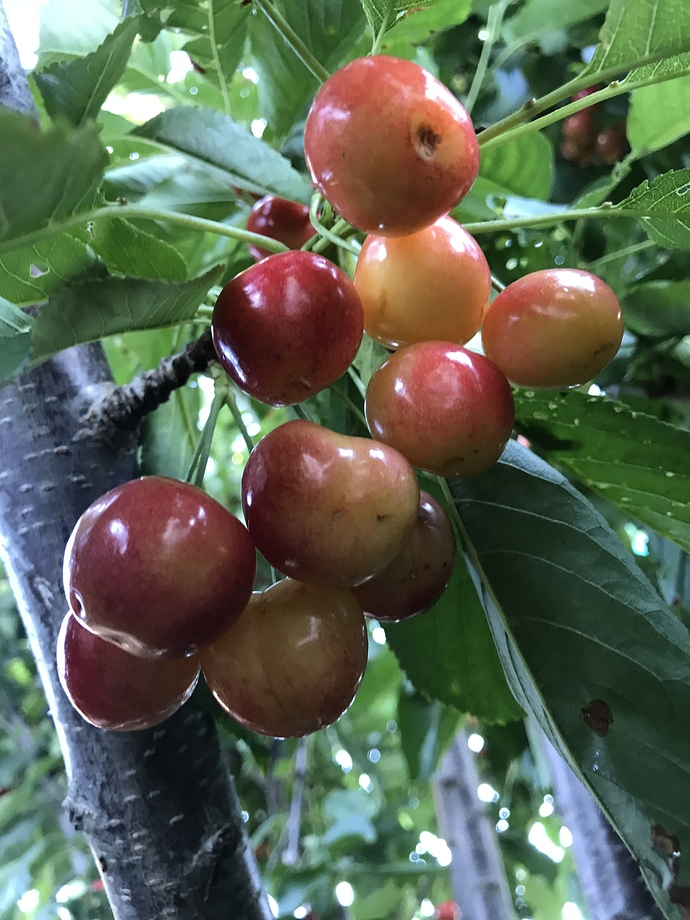 Costco S Most Expensive Cherry General Fruit Growing Growing Fruit