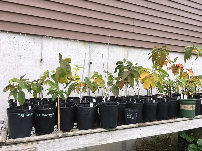 Jerry%20Lehman%20Orchard%20Seedlings%20Persimmon%20Fall%20Colors%202020