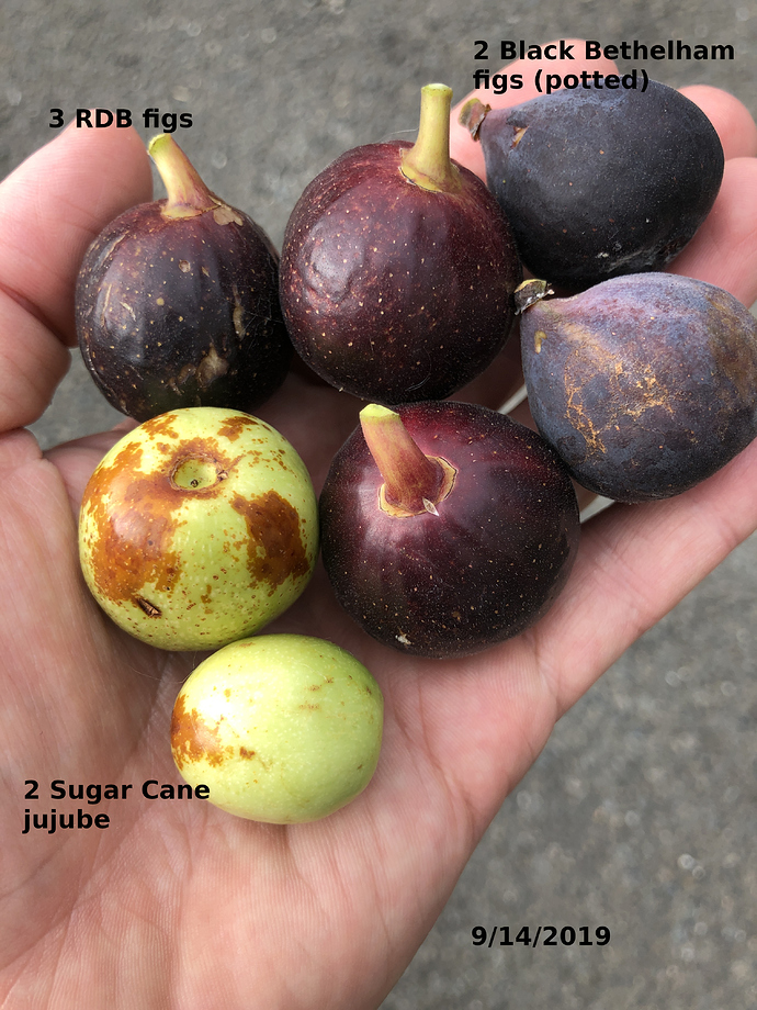 Jujube_and_figs_09-14-2019
