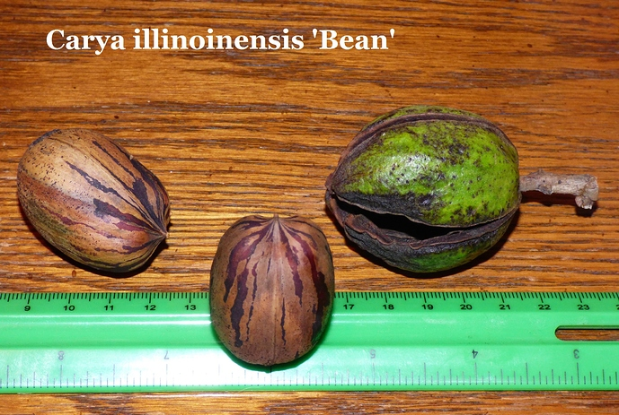 Carya%20illinoinensis%20'Bean'%20Fred%20Blankenship%20Cecilia%2C%20KY%20007