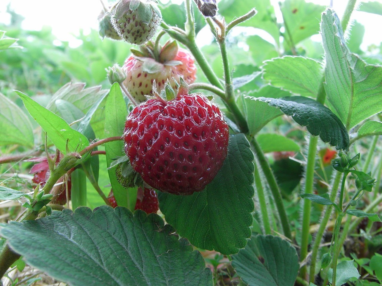 Bubbleberry strawberry - General Fruit Growing - Growing Fruit