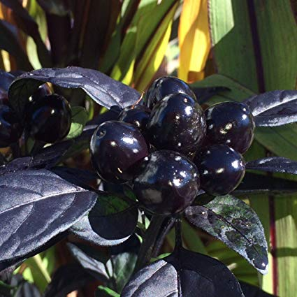 Image result for black pearl pepper