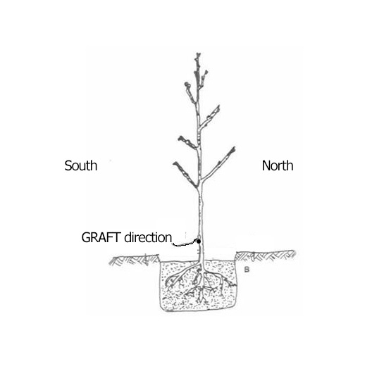 graft%20direction